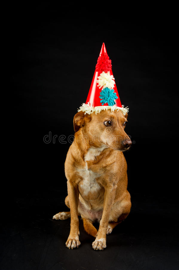 Download Party animal stock image. Image of mutt, breed, studio - 21634559