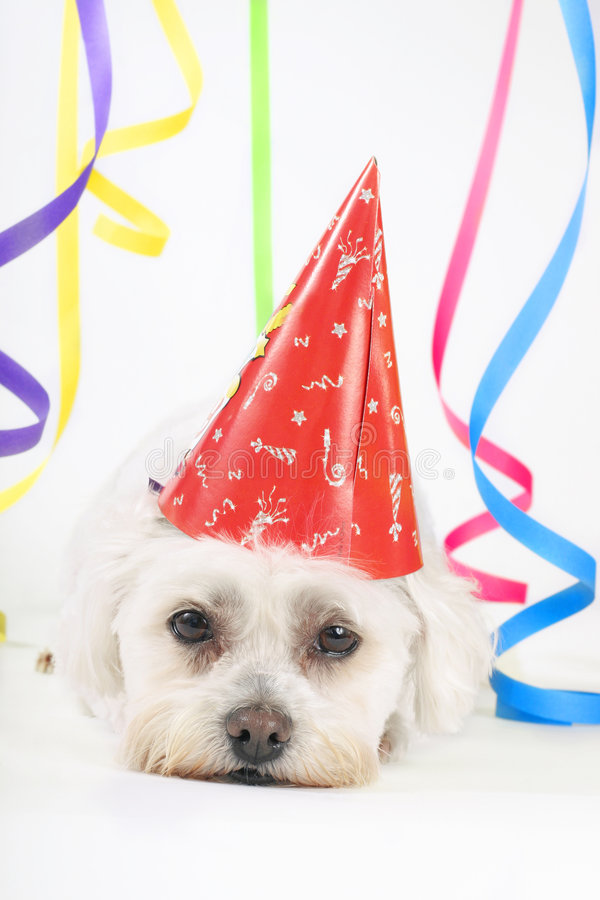 Party Animal. Small white dog with a party hat amongst colourful streamers