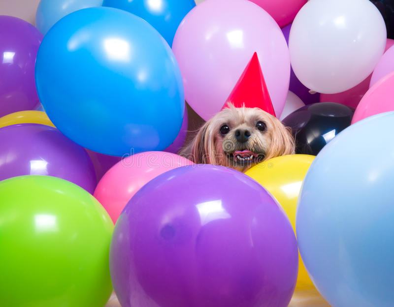 Party Animal. Party on dude! A Shi Tzu Dog wearing a party hat amongst a bunch of coloured balloons