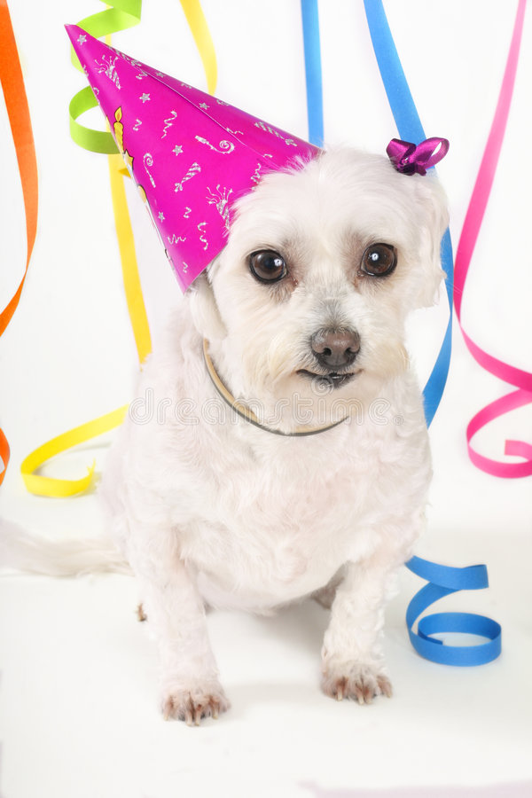 Party Pooch. Cute small white dog, party hat and streamers on a white background
