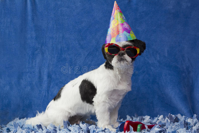 Party puppy. A horizontal picture of a black and white puppy with floppy black ears wearing a party hat and sunglasses with a noise maker at its feet on a stock image