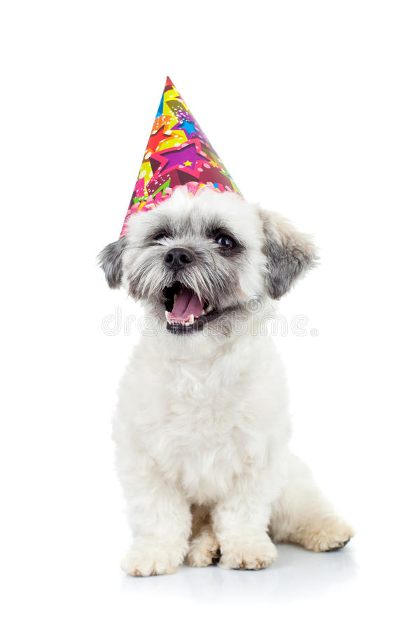 Free Party Puppy Bichon Havanese Stock Photography - 19462712