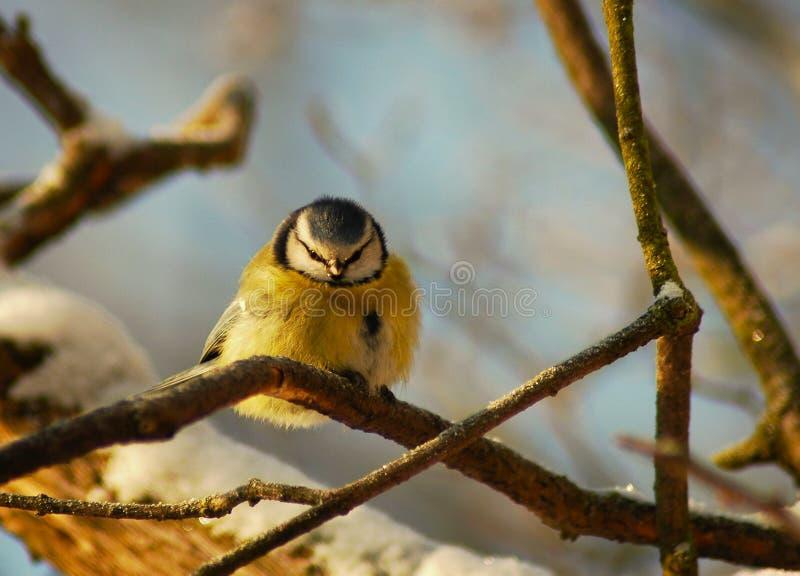 Download Parus caeruleus stock image. Image of twig, titmouse - 16663977