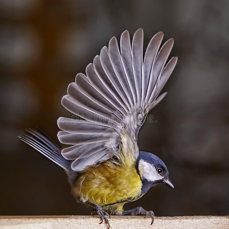 Parus de los pájaros del helada del Tit en la comida Foto de Speedlight fotografía de archivo