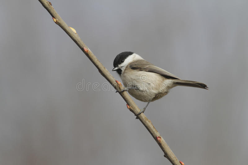 Parus montanus royalty free stock photography