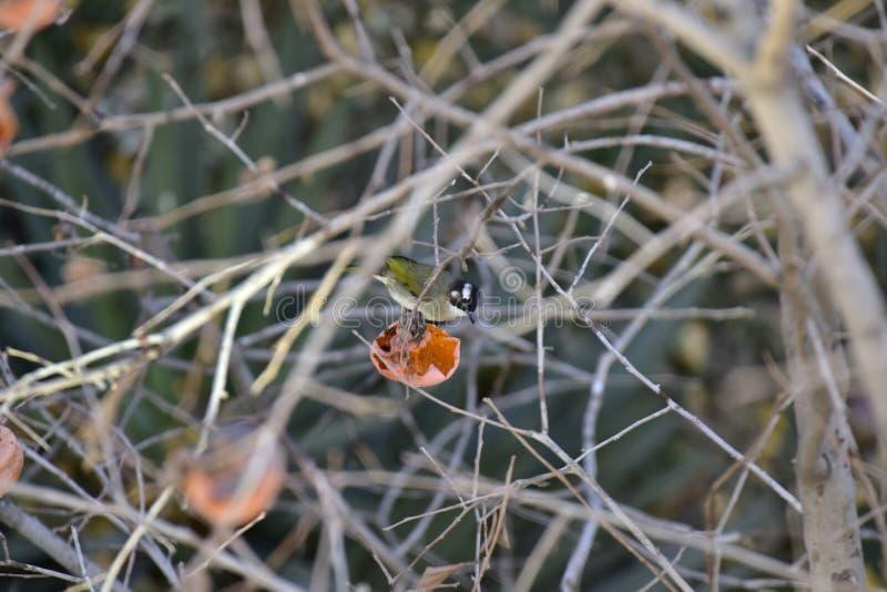 Parus monticolus auf dem Persimonebaum lizenzfreie stockfotografie