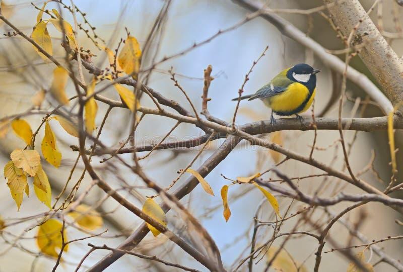 Parus ważny, wielki tit ptak zdjęcie stock
