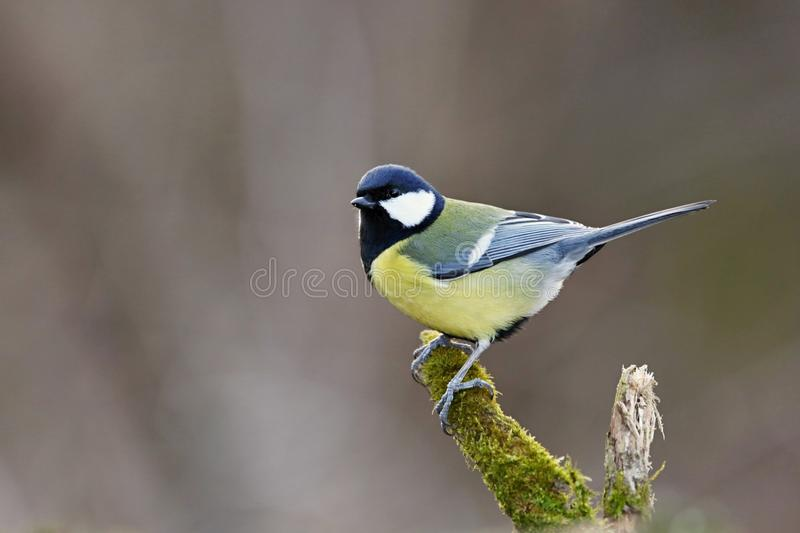 Parusmajor, Blaumeise Landschaft der wild lebenden Tiere stockfoto