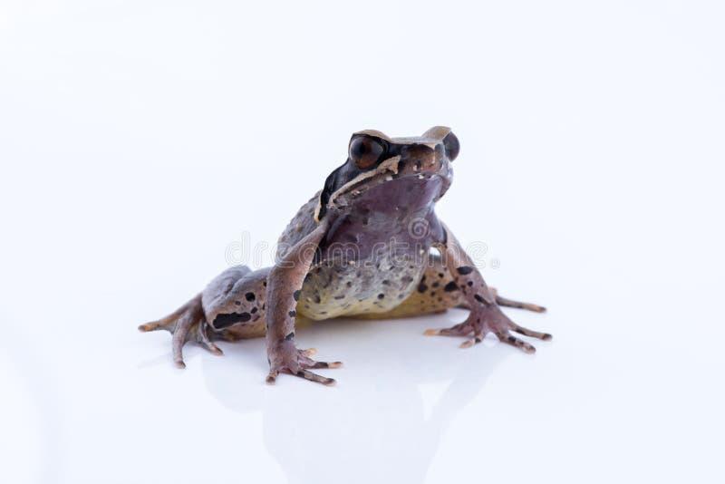 Parva Lesser Stream Horned Frog de Megophrys : grenouille sur le dos de blanc image libre de droits
