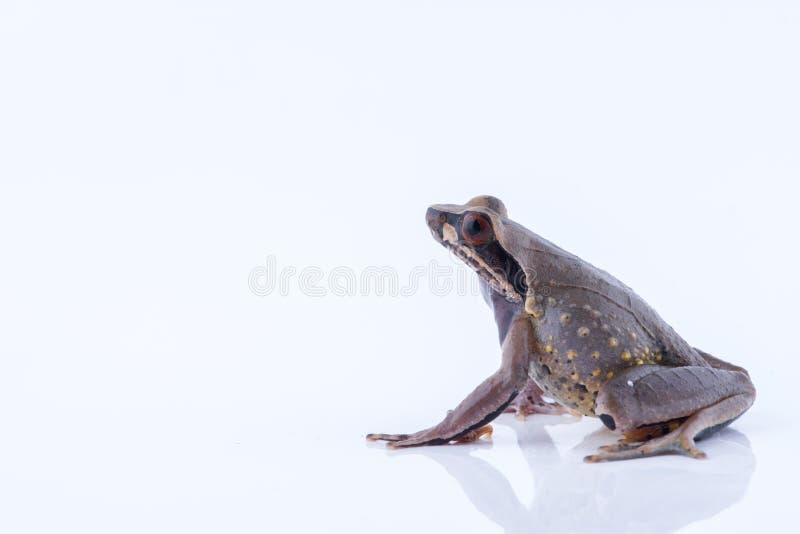 Parva Lesser Stream Horned Frog de Megophrys : grenouille sur le dos de blanc photos stock