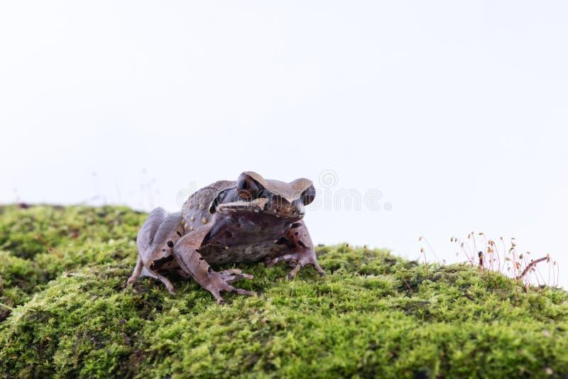 Parva Lesser Stream Horned Frog de Megophrys : grenouille sur le dos de blanc photos libres de droits