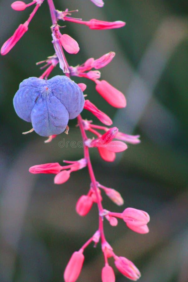 Parviflora de Hesperaloe image stock