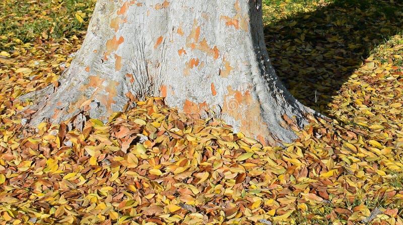 Parvifolia em madeiras de Laguna, Califórnia do Ulmus do olmo chinês imagens de stock royalty free