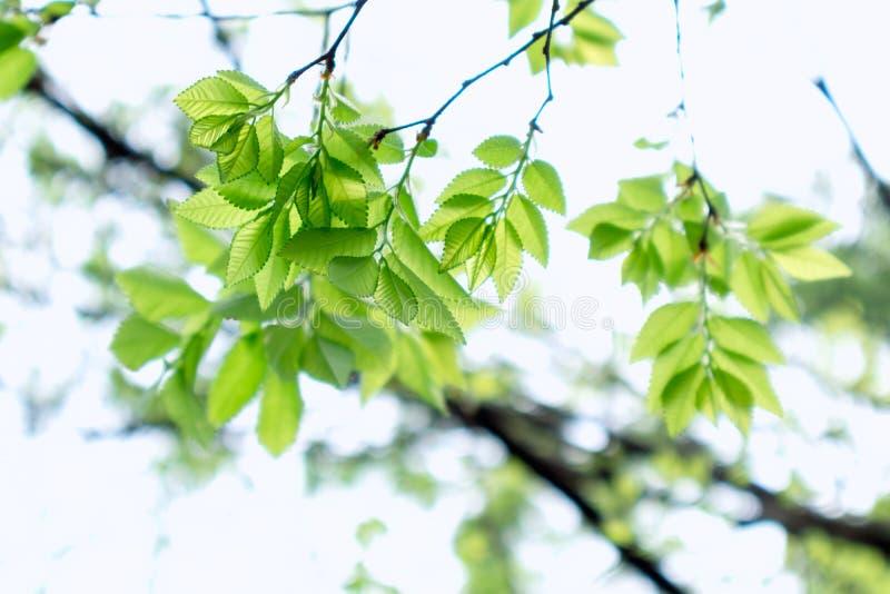 parvifolia macio Jacq do folha-Ulmus imagens de stock