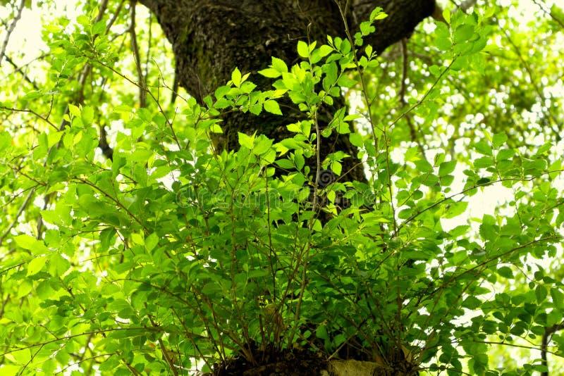 parvifolia macio Jacq do folha-Ulmus fotografia de stock royalty free