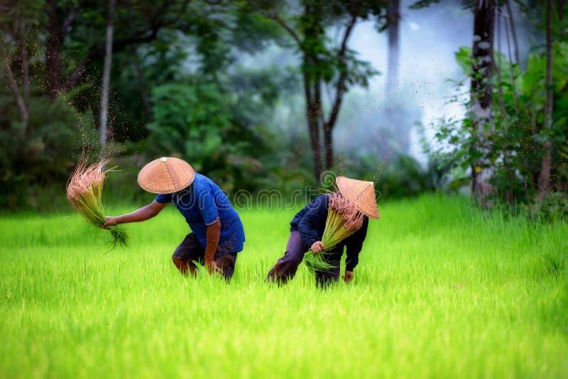 Pary średniorolny działanie na zielonym ryżu polu wpólnie zdjęcia stock