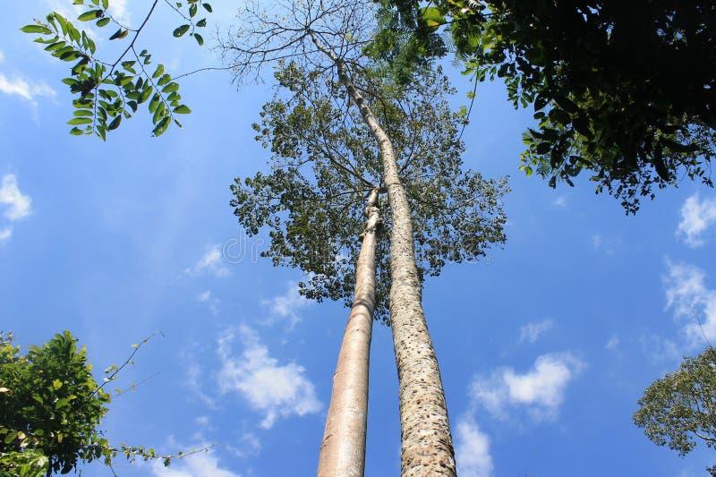Pary drzewo w Kaowyai Thailand fotografia royalty free