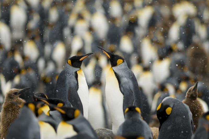 pary królewiątko gromadzi pingwinu obraz royalty free