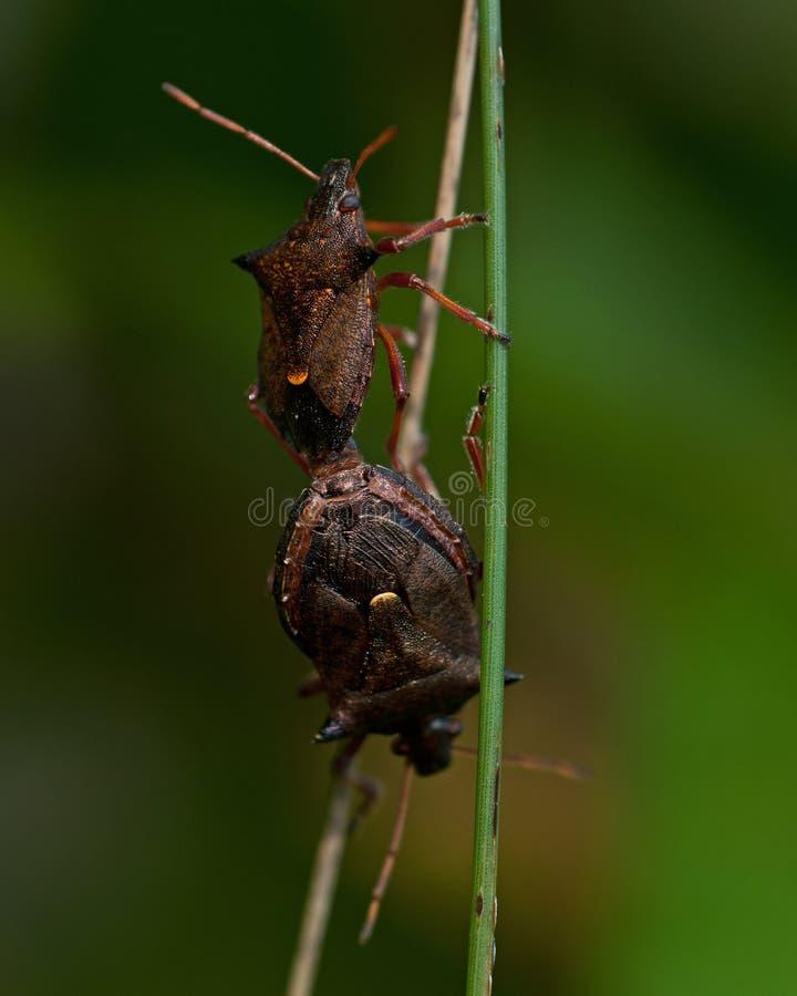 Pary Picromerus bidens gwożdżący shieldbug fotografia royalty free