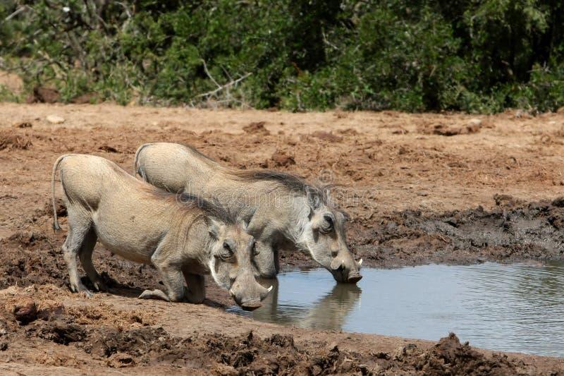 pary warthog zdjęcie royalty free