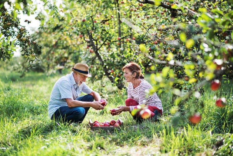 Pary zrywania starsi jabłka w sadzie w jesieni obraz stock