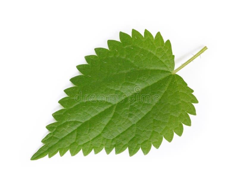 Parzącej pokrzywy liść, Urtica dioica Ziołowy Remedium obrazy stock