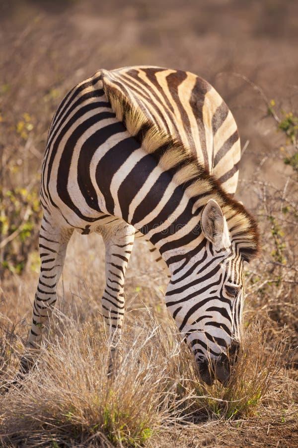 Pasać Burchell ` s zebry w Kruger NP, Południowa Afryka zdjęcie stock