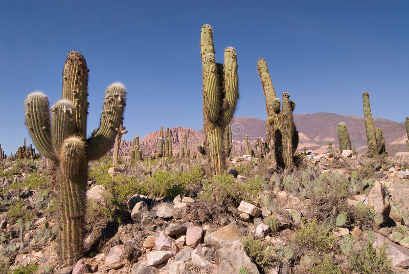 pasacana кактуса Аргентины северное стоковое изображение