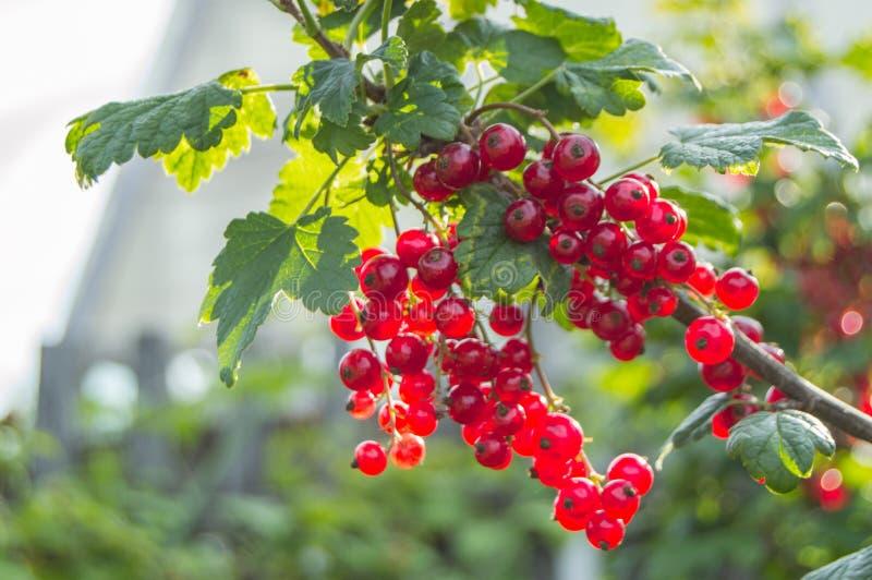 Pasas rojas de la cosecha, bayas maduras que cuelgan en una rama de Bush, fondo borroso del jardín fotos de archivo libres de regalías