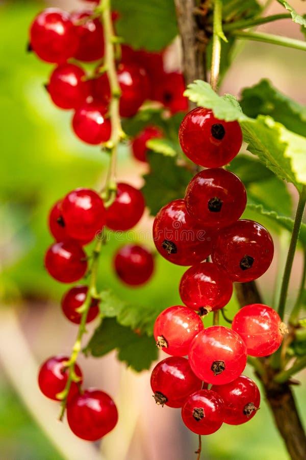 Pasas rojas sanas en un día de verano Pasas rojas maduras en el jard?n Alimento sano Un manojo de pasas rojas Bayas jugosas madur imagen de archivo