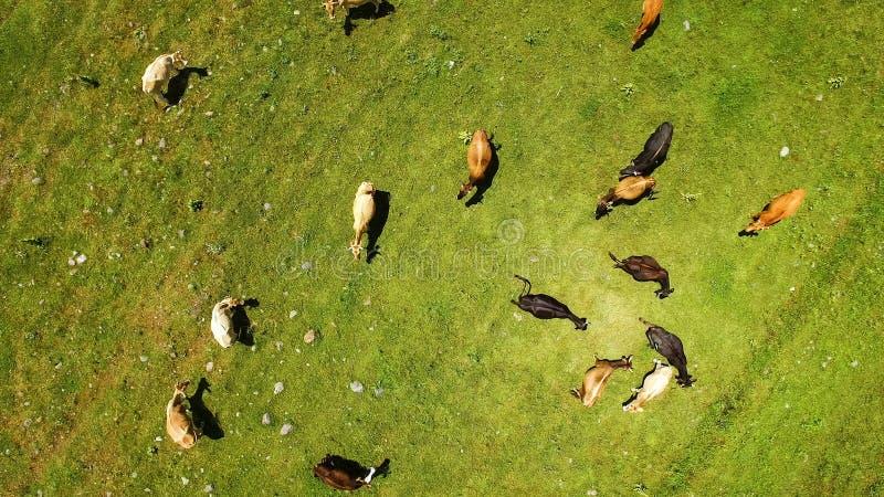 Pascendo le mucche sull'estate sistemano, mangiando l'erba verde fresca, coltivante nella campagna immagine stock libera da diritti