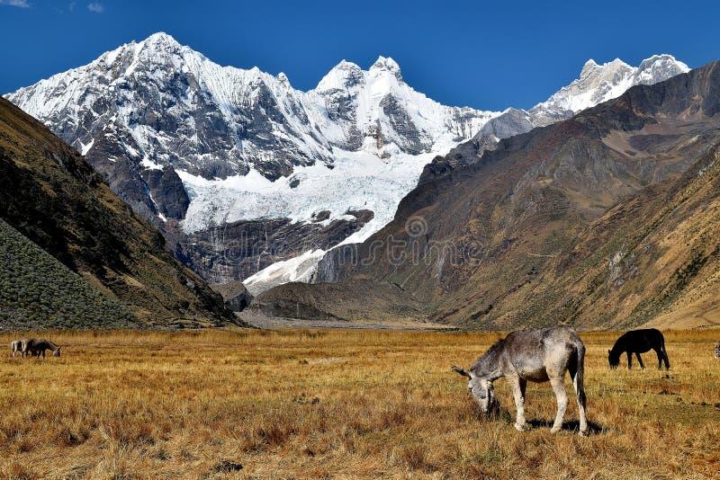 Pascendo nelle Ande immagine stock libera da diritti