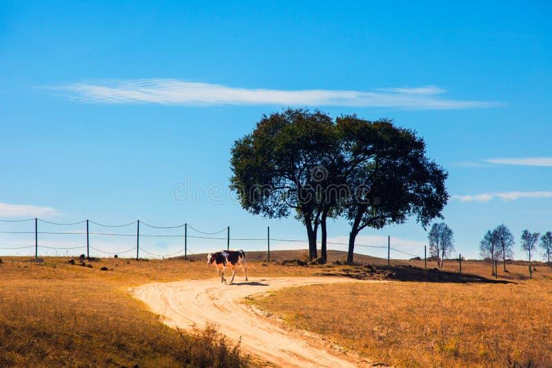 Pascoli della mucca dell'albero fotografia stock libera da diritti