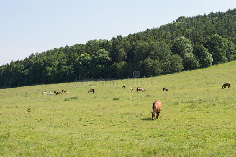 Pascolo che pasce il gregge verde del paesaggio del terreno coltivabile del prato del campo dei cavalli equino fotografia stock