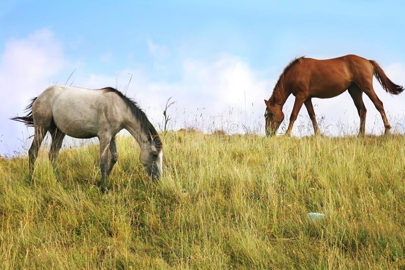 pascolo dei cavalli fotografie stock libere da diritti