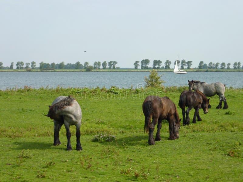 Pascolo dei cavalli in estate fotografia stock