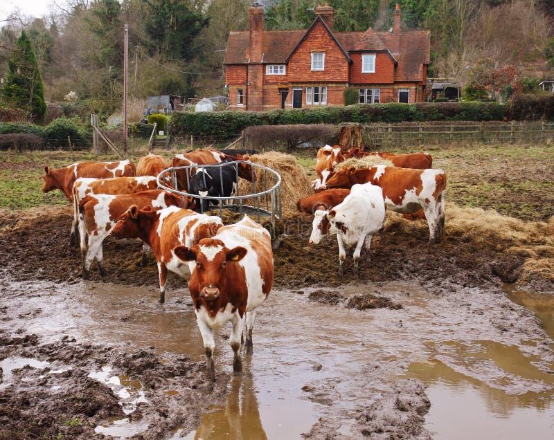 Pascolo del bestiame nel fango immagine stock libera da diritti