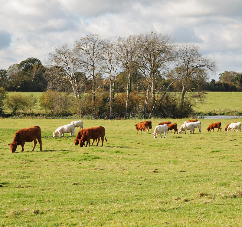 Pascolo del bestiame in un prato inglese immagine stock libera da diritti