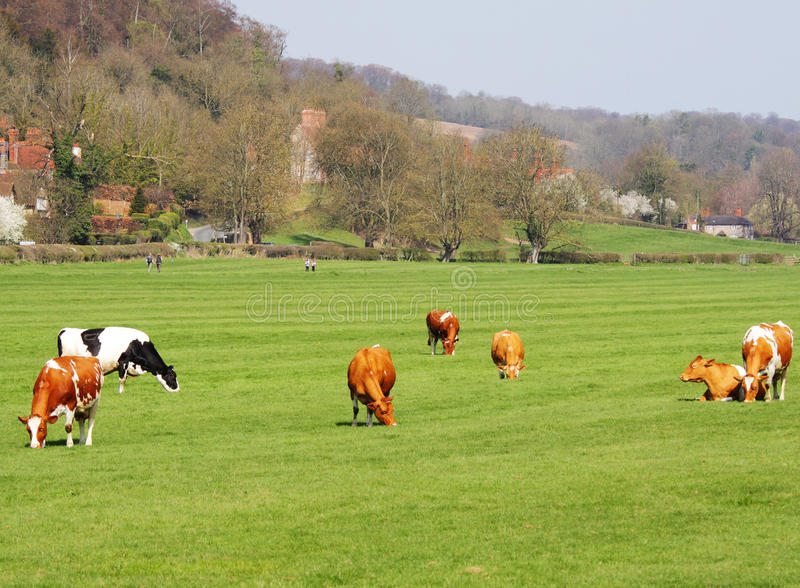 Pascolo del bestiame in un prato inglese fotografia stock libera da diritti