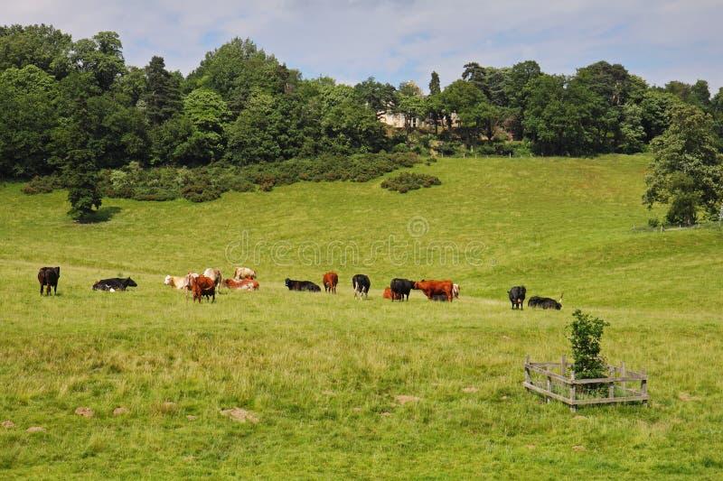 Pascolo del bestiame in un prato inglese fotografie stock