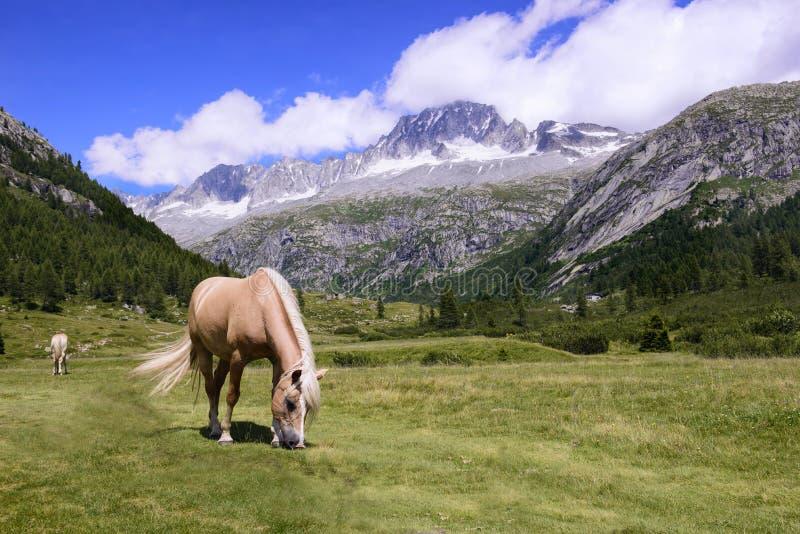 Download Pascolo del cavallo fotografia stock. Immagine di campo - 56891718
