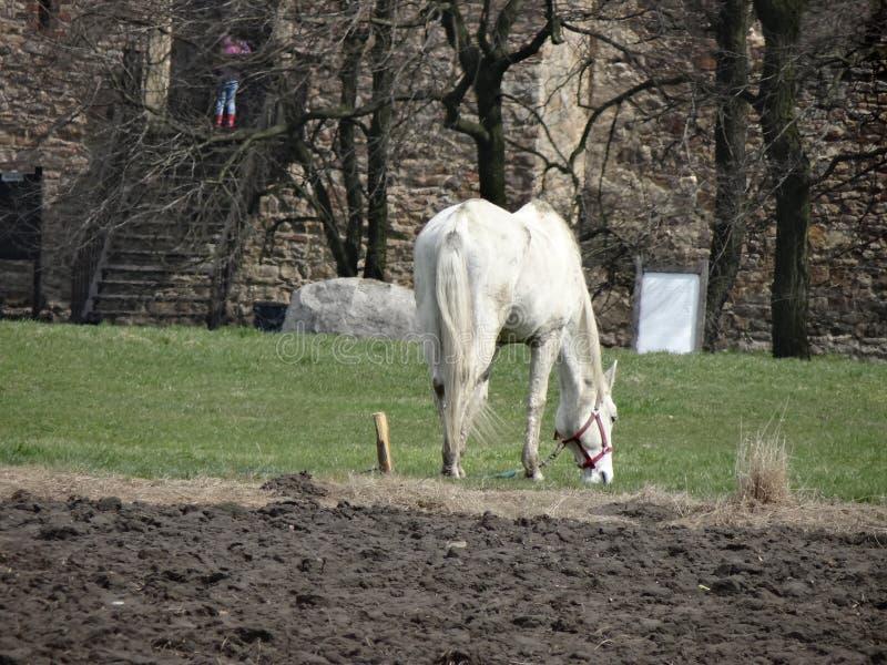 Pascolo del cavallo bianco rurale vicino al castello medievale fotografie stock libere da diritti