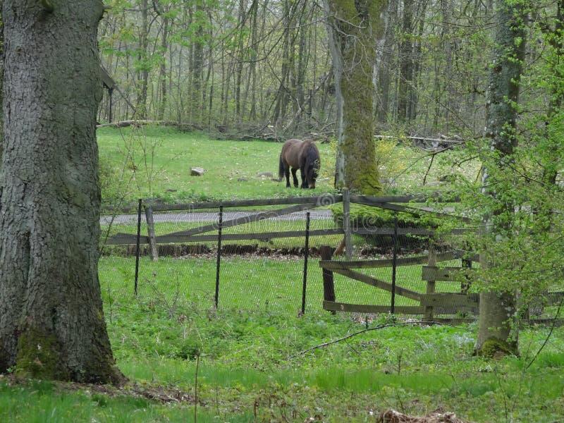 Pascolo del cavallo marrone accanto ad una foresta verde scuro di recintare fotografia stock libera da diritti