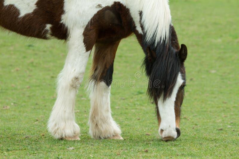 Pascolo del cavallo, Ovingdean, East Sussex, Regno Unito immagine stock