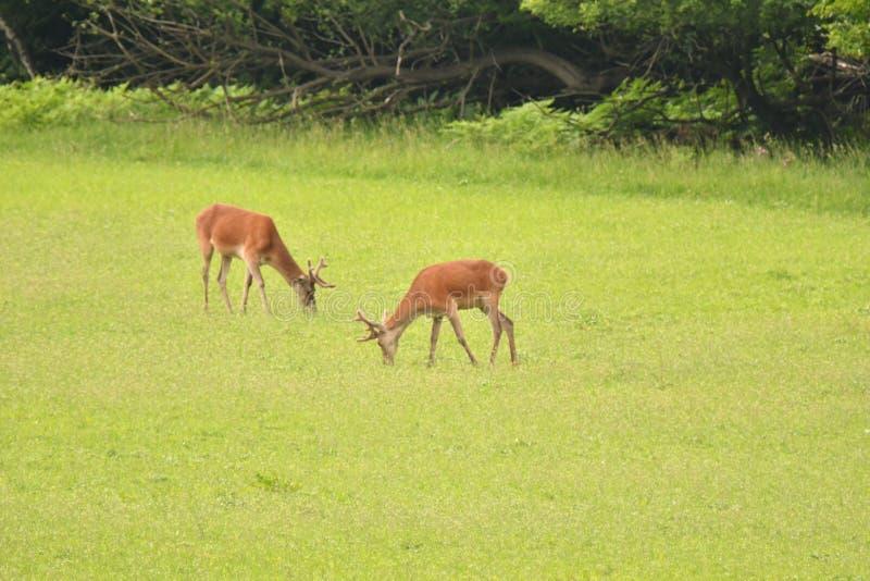 Pascolo del cervo maschio del maschio dei cervi sul prato fotografia stock