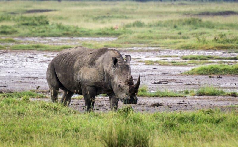 Pascolo del rinoceronte in erba in lago Nakuru National Park immagine stock