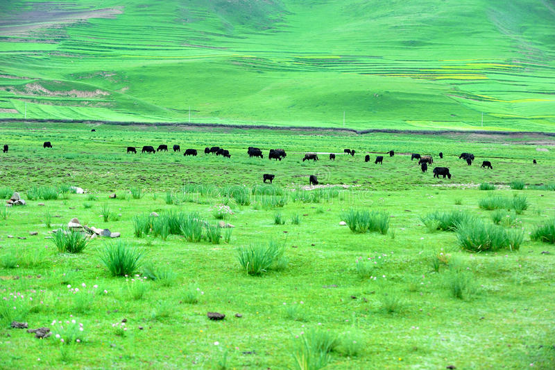Pascolo del Tibet GanNan immagini stock