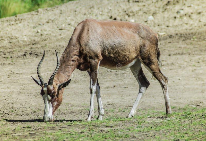 Pascolo dell'antilope fotografia stock