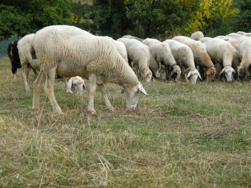 Download Pascolo delle pecore immagine stock. Immagine di bianco - 7307791