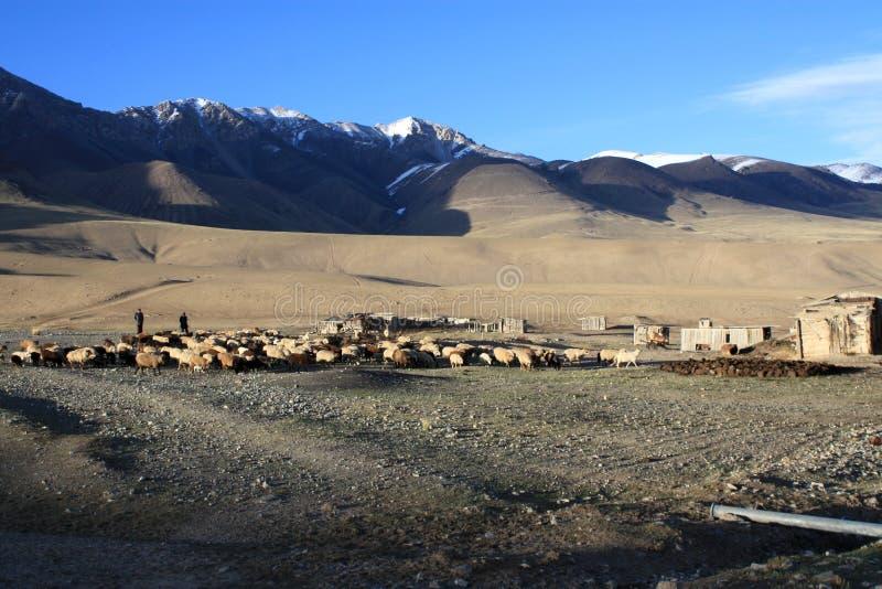 Pascolo delle pecore alle montagne selvagge del Kirghizistan fotografia stock libera da diritti